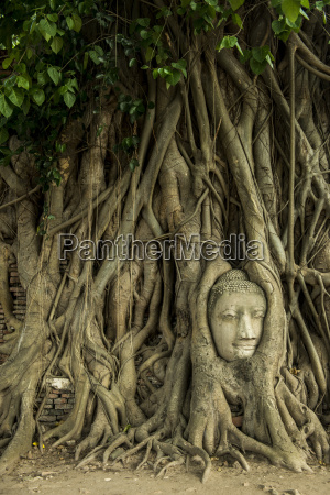 buddha head in roots of tree