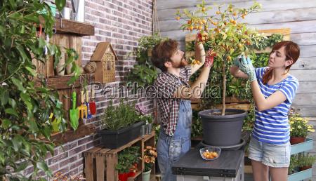 par plukke kumquats i deres urbane