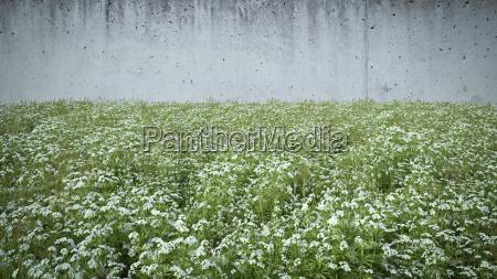 cleaver vokser foran betonvaeg