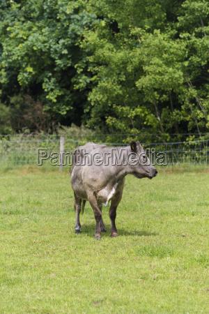 single cow in meadow