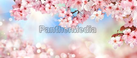 naturlig natur i foraret cherry blossom