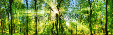 fresh green forest enchanted by sunbeams