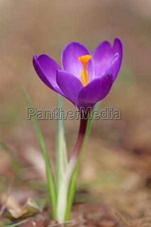 violet krokus i foraret