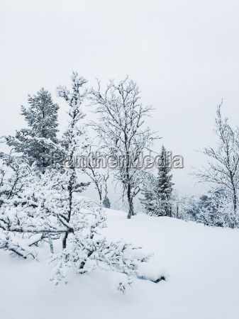 norway oppland trees in snow covered