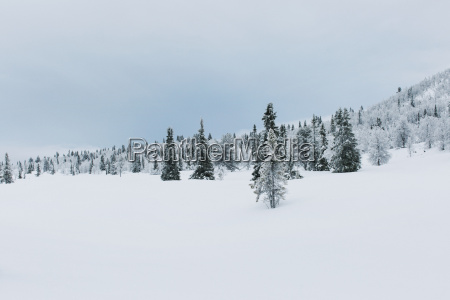 norway oppland fir tree forest in