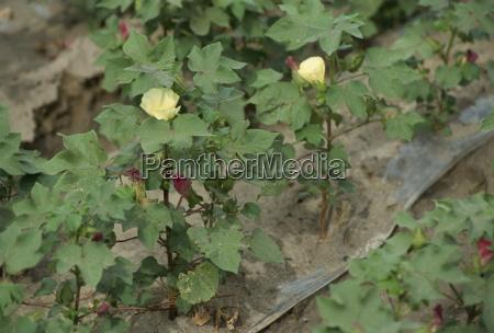 hvidguld, bomuldsplanter, xinjiang, kina, asien - 20596241