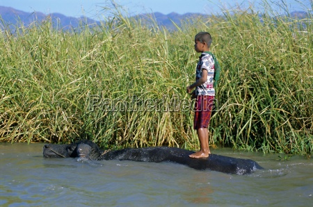 boy and buffalo inle lake shan
