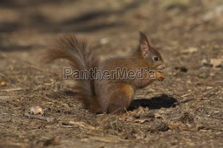 red squirrel sciurus vulgaris formby liverpool