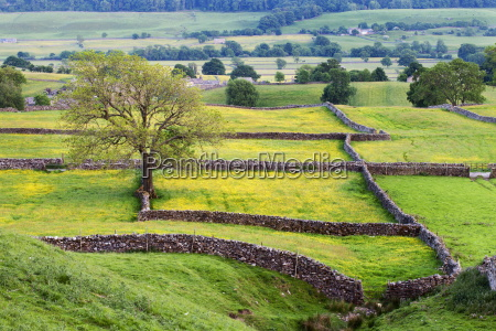 tree and buttercup meadows near askrigg