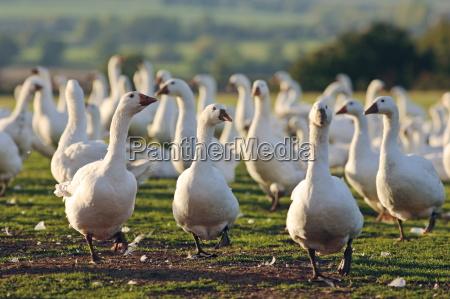 gaesfarm oxfordshire storbritannien fritgaende fugle kan