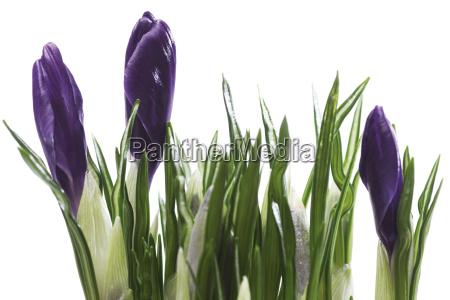 blad forar var lilla purpur vaekst