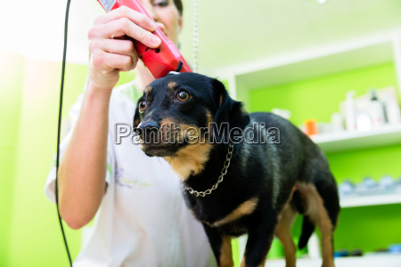 woman is shearing dog in pet