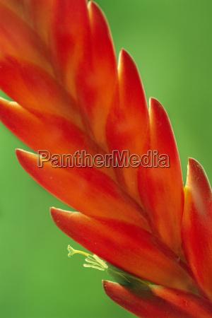 bromeliad flower atlantic forest brazil