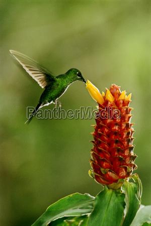 gronkronet stralende kolibri heliodoxa jacula fodring