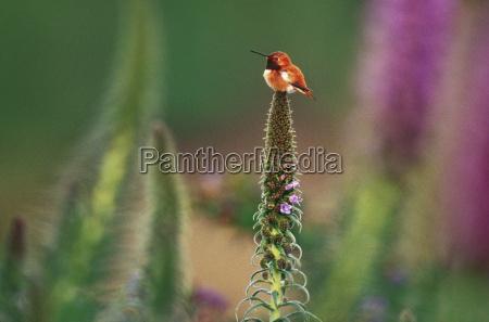 rufous hummingbird selaphorus rufus on flower