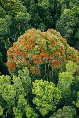 flowering rata tree metrosideros umbellata and