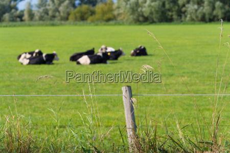 frisian cows in meadow