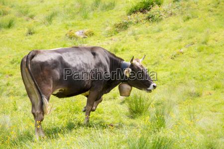 landbrugsmaessig dyr pattedyr landbrug agerbrug mark