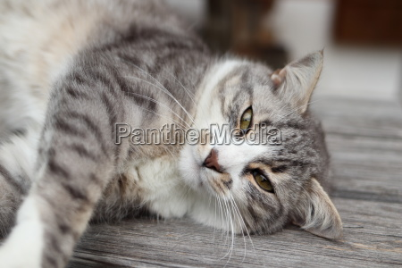 relaxed striped cat