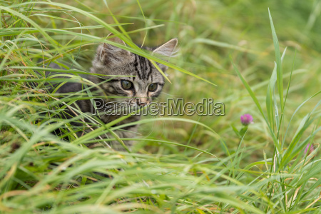katzenbaby beobachtet in der wiese