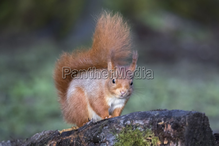 red squirrel sciurus vulgaris eskrigg nature