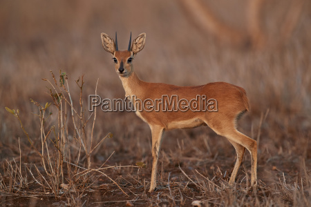 steenbok raphicerus campestris buck kruger national