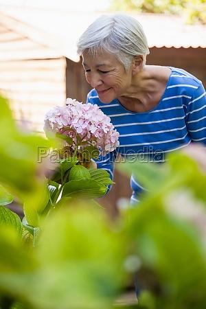 smilende senior kvinde lugter pink hortensia