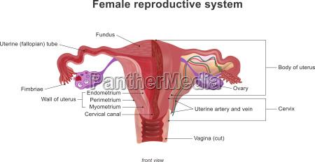 det kvindelige reproduktive system anatomi krop