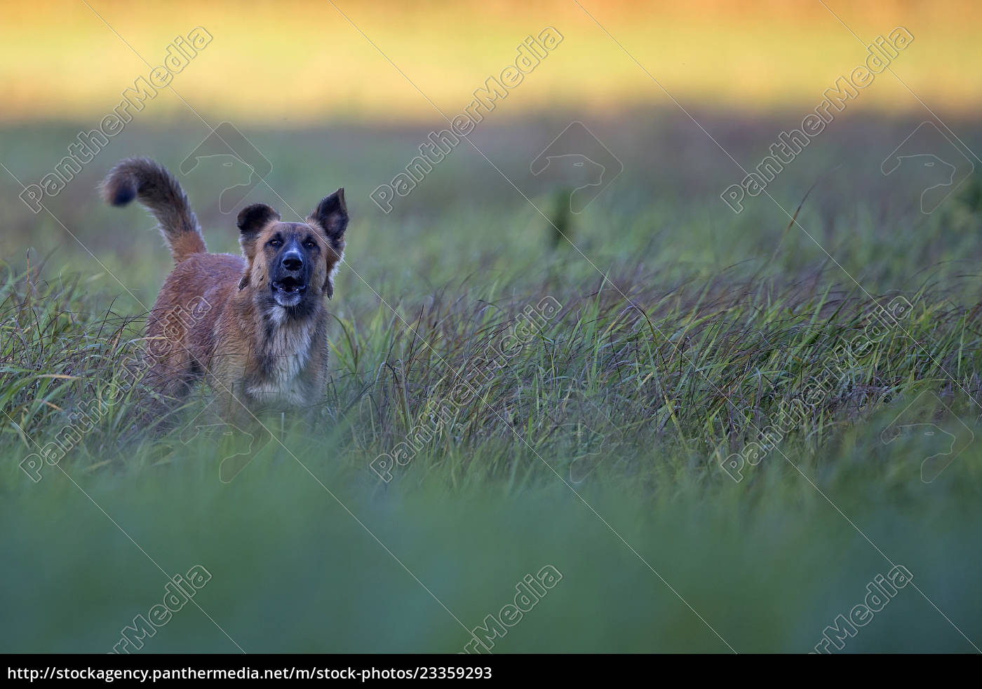 dog, in, a, clearing, - 23359293
