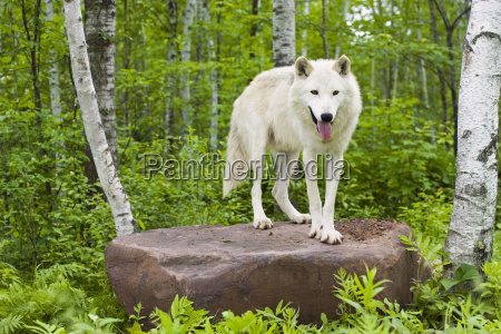 adult wolf in forest minnesota spring
