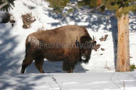bison om vinteren