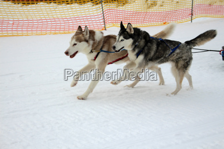 vinter hund sled dog race sport