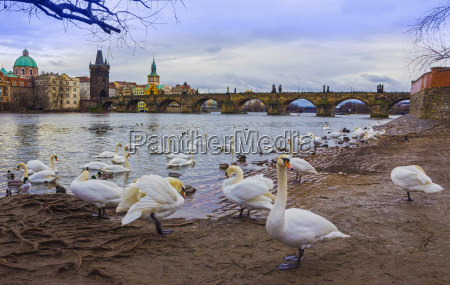 view on charles bridge and swans