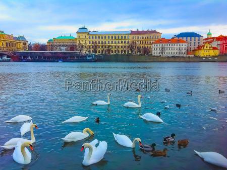 view on swans on vltava river