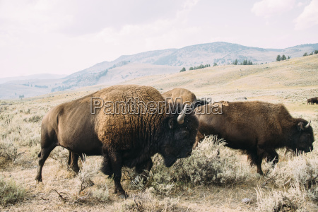 american bison grazing on field against