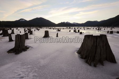 tree stumps on snow field against