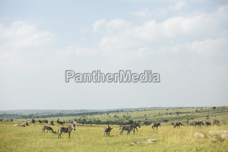 zebras on field at serengeti national