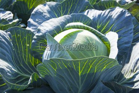 landbrugsmaessig closeup close up plante tilplante