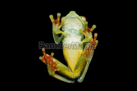 neotropical palme frog hypsiboas pelluscensa fra