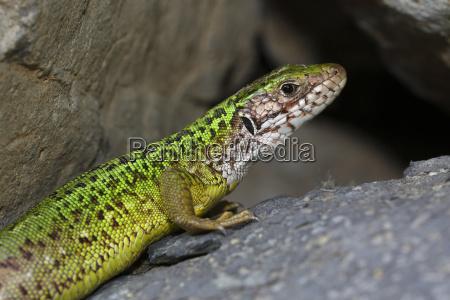 animal reptile fauna national park lizard
