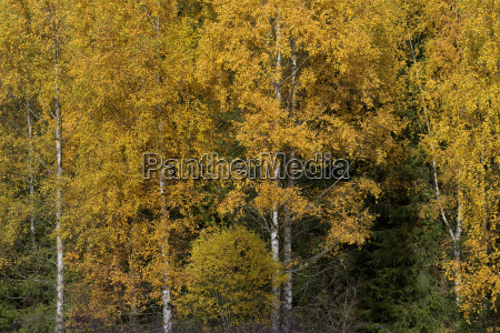 national park birches europe autumnal woods