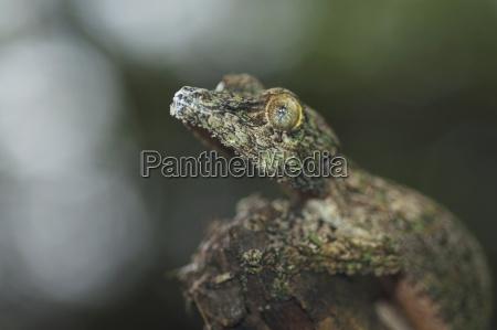 nocturnal gecko marozevo provinz toamasina madagaskar
