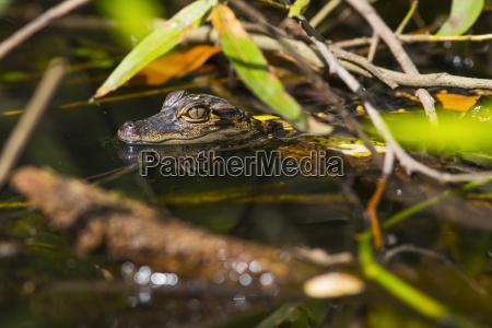 en vild amerikansk alligator alligator mississippiensis