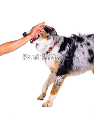 hand husdyr kaeledyr hund nyttedyr ven