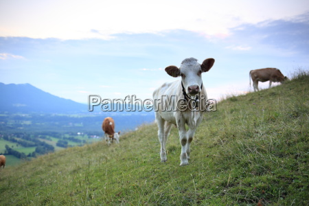 young cattle on the malga