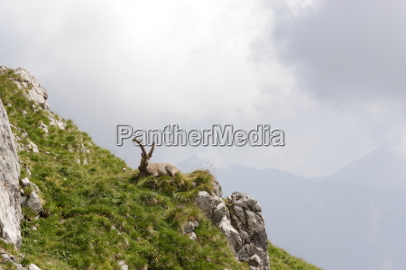 relaxing capricorn on a hill