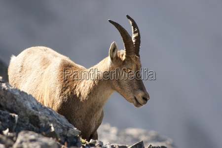 young capricorn on a rock wall