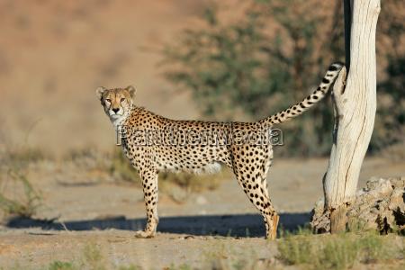orken wildlife sydafrika kat gepard markering
