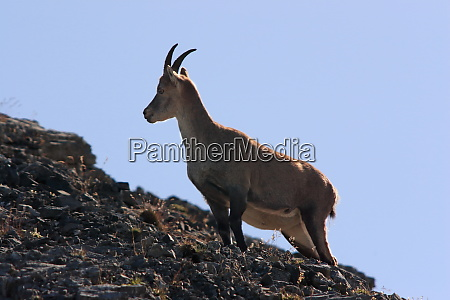 young capricorn and mountain