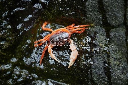 japansk ferskvands krabbe